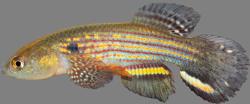 00-0-Copr_2015-WEJM_Costa-Holotype-UFRJ_10087-47mmSLt.png