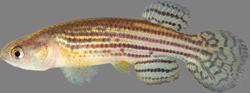 00-0-Copr_2015-WEJM_Costa-Holotype-UFRJ_10088F-39mmSLt.png