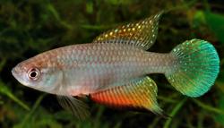 00-0-Copr_2016-Ricardo_Britzke-FIGURE-4-Hypsolebias-martinsi-ZUEC-10791-male-holotype-275-mm-SL-Brazil-Cearat.png