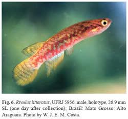 00-0-Copr_2005-W_Costa-Holotype_UFRJ-5956_M_26.9mmt.jpg