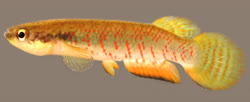 00-0-Copr_2018_WEJM_Costa-Holotype_UFRJ_8434-male_27-6mm_SLt.jpg