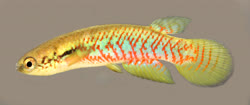 00-0-Copr_2018-WEJM_Costa-Holotype_UFRJ_11681t.jpg
