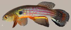 00-0-Copr_2015-WEJM_Costa-Holotype_UFRJ_10083-43-3mmSLt.jpg