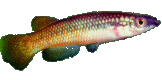 Pachypanchax-varatraza-Menambery-wild-male-tt.png